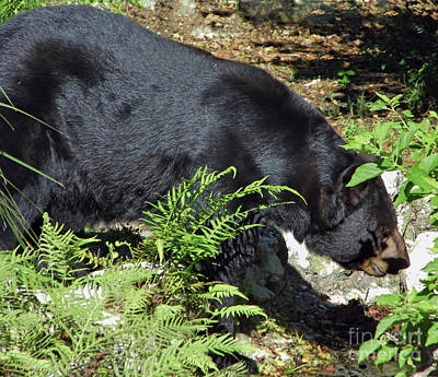 Photograph - Majestic Florida Black Bear by D Hackett