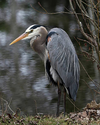 Photograph - Majestic Great Blue Heron by Doris Potter