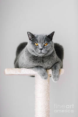 Photograph - Majestic Grey Cat Laying On The Top Of The Scratcher. by Michal Bednarek