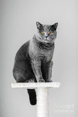 Photograph - Majestic Grey Purebred Cat Sitting On The Scratcher by Michal Bednarek