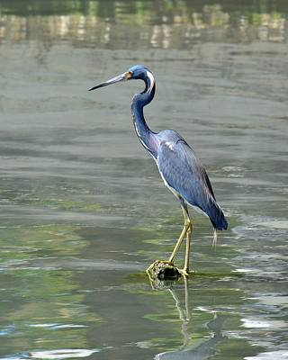 Photograph - Antigua Beauty - Tricolored Heron by KJ Swan