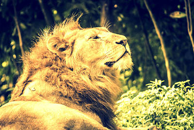Nature Photograph - Majestic Lion 4 by Jijo George