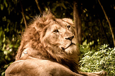 Nature Photograph - Majestic Lion 6 by Jijo George