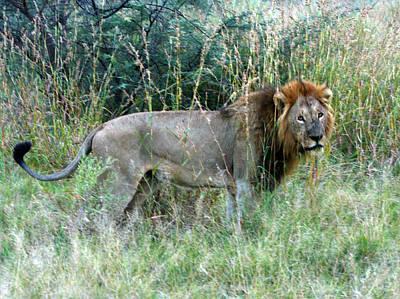 Photograph - Majestic Lion by Karen Zuk Rosenblatt