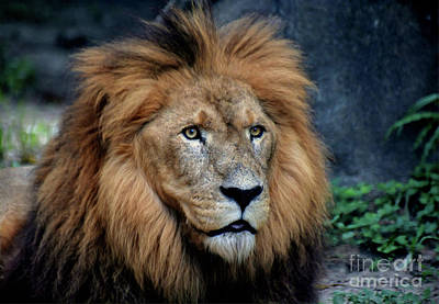 Photograph - Majestic Lion  by Savannah Gibbs