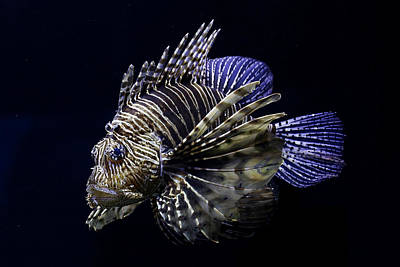 Photograph - Majestic Lionfish by Debi Dalio