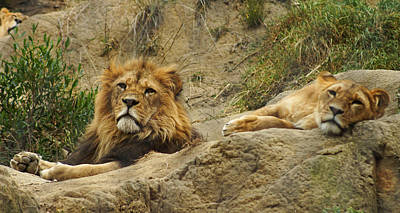 Photograph - Majestic Lions by Cameron Wood