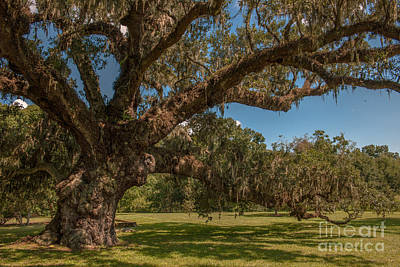 Photograph - Majestic Live Oak Tree At Mcleod Plantation by Dale Powell