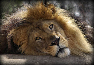 Lion Face Photograph - Majestic Love by Linda Mishler