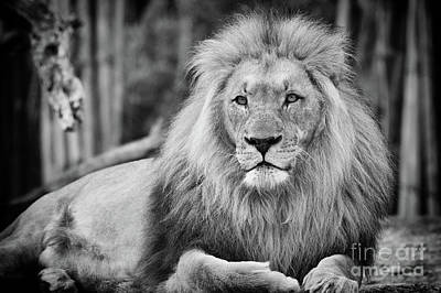 Photograph - Majestic Male Lion Black And White Photo by Carsten Reisinger
