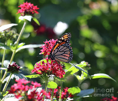 Photograph - Majestic Monarch by Mary Haber