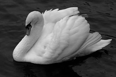 Majestic Mute Swan Art Print by Pierre Leclerc Photography