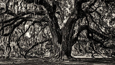 Photograph - Majestic Oak Bw by Heather Applegate
