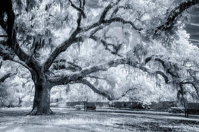 Photograph - Majestic Oak by Cathie Crow