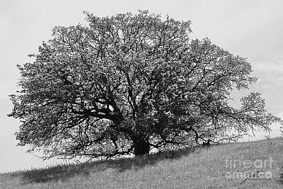 Photograph - Majestic Oak by Suzette Kallen