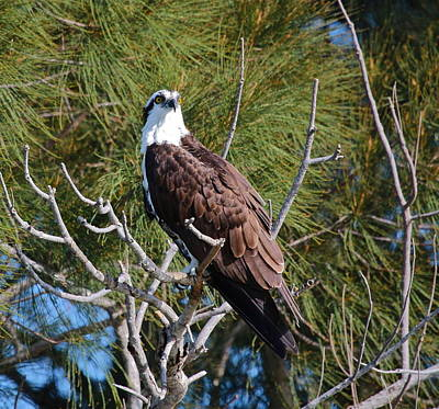 Photograph - Majestic Osprey by Denise Mazzocco