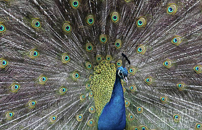 Photograph - Majestic Peacock by Giovanni Malfitano
