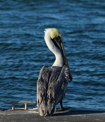Photograph - Majestic Pelican by Denise Mazzocco