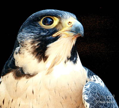 Photograph - Majestic Peregrine Falcon - A Wildlife Portrait by Christine S Zipps