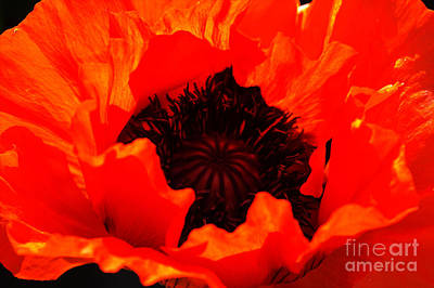 Art Print featuring the photograph Majestic Poppy by Baggieoldboy
