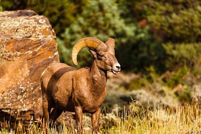 Photograph - Majestic Ram by Jaquita Watters