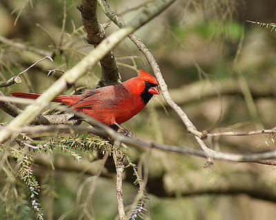 Photograph - Majestic Red Cardinal by Margie Avellino