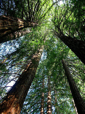 Photograph - Majestic Redwoods by Lawrence Boothby