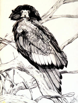 Drawing - Majestic Russian Steller's Sea Eagle by Cheryl Poland