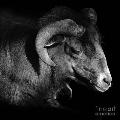Photograph - Majestic Sheep In Greyscale by Paul Davenport
