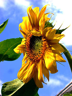 Photograph - Majestic Sunflower by Natalie Holland