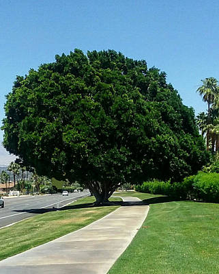 Photograph - Majestic Tree Palm Desert, California by Jay Milo