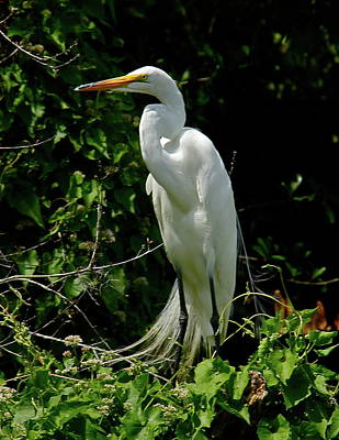 Photograph - Majestic White Egret by Denise Mazzocco