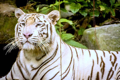 Wildlife Photograph - Majestic White Tiger by Jijo George