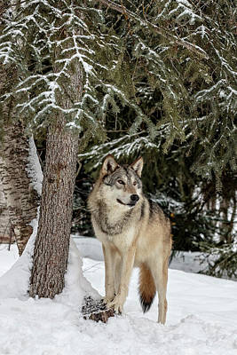 Photograph - Majestic Wolf by Wes and Dotty Weber