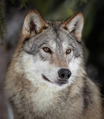 Photograph - Majestic Wolf II by Athena Mckinzie
