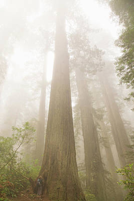 Majesty Of The Redwoods Art Print