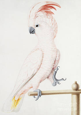 Cockatoo Drawing - Major Mitchell's Cockatoo by Nicolas Robert