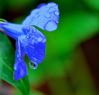 Photograph - Major Vinca After The Rain by Gwendolyn Christopher