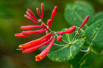 Photograph - Major Wheeler Honeysuckle  by Willard Killough III