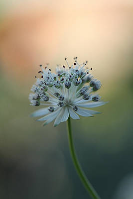 Astrantia Photograph - Botanica .. Make A Wish  by Connie Handscomb