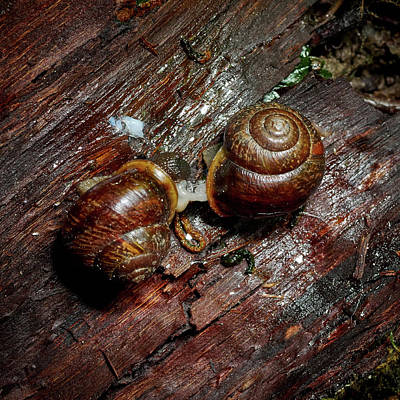 Photograph - Make It Slow. Copse Snail by Jouko Lehto