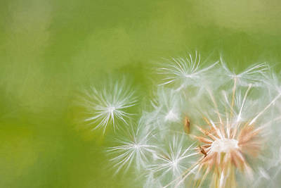 Photograph - Making Wishes Dandelion by Terry DeLuco