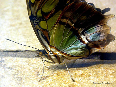 Photograph - Malachite Butterfly 2 by Kimmary MacLean