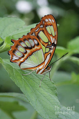Photograph - Malachite Butterfly #7 by Judy Whitton