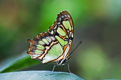 Malachite Butterfly Art Print by Cheryl Cencich
