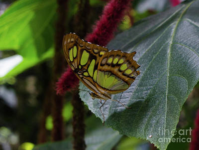 Photograph - Malachite Butterfly by Donna Brown