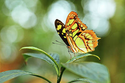 Photograph - Malachite Butterfly by Grant Glendinning