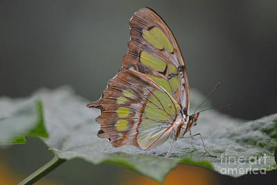 Photograph -  Malachite Butterfly by Janice Spivey