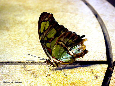 Photograph - Malachite Butterfly by Kimmary MacLean