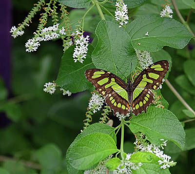 Photograph - Malachite Butterfly Nestled In Vanilla by Ronda Ryan